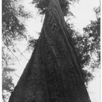 The giant Founder's Tree became a symbol of something much larger during World War II.
