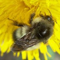 A bumble bee investigates a dandelion.
