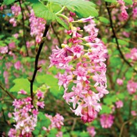 A red flowering currant.