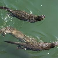 Otters mooching scraps at Trinidad Pier on Sunday.