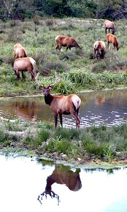 The California Department of Fish and Wildlife is investigating a elk poaching case. - FILE