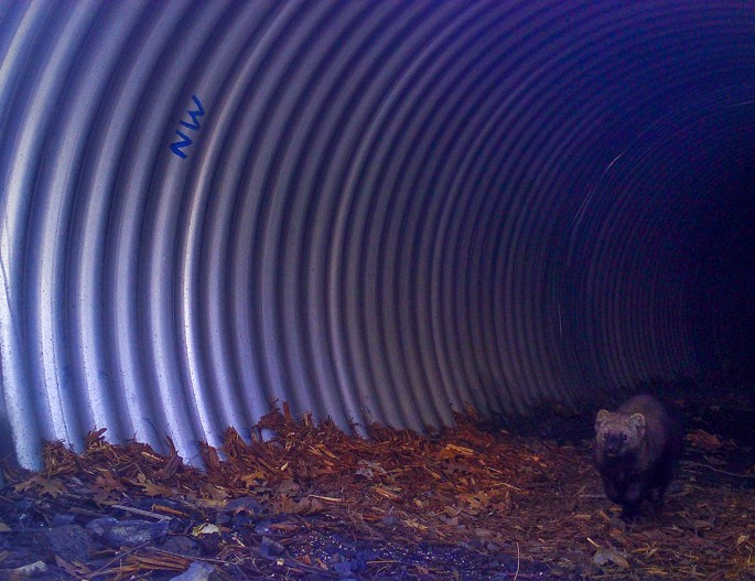 A rare Pacific fisher passes through an oversized culvert constructed specifically for wildlife west of Redding under State Route 299. - CDFW