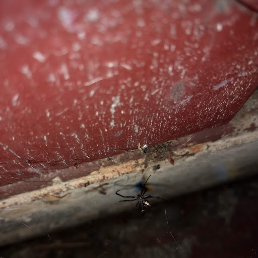 Cell phone photo of male black widow in web on front of Carlotta Post Office. Note hourglass. - PHOTO BY ANTHONY WESTKAMPER