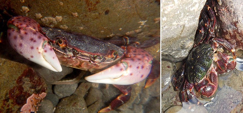 Two different shore crabs: the purple shore crab (purple spots) and the lined shore crab. - PHOTO BY MIKE KELLY.