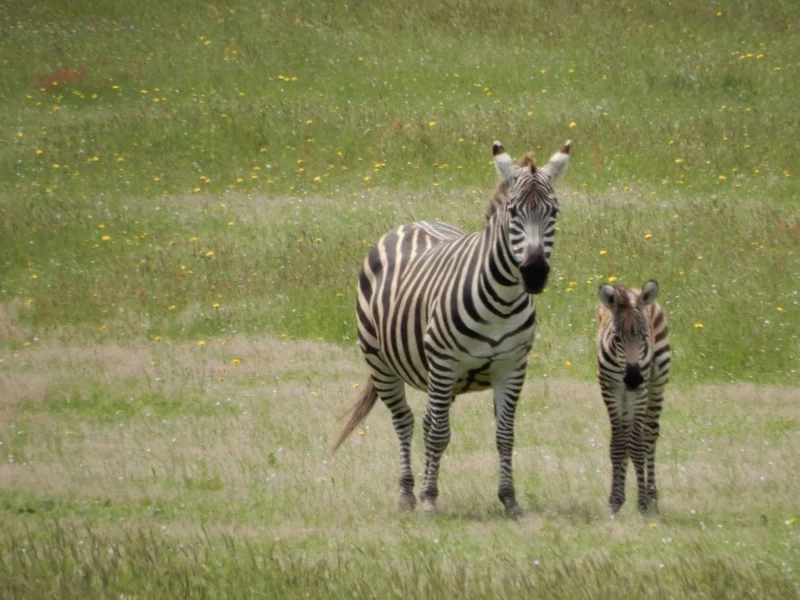 A new foal has joined the Petrolia zebras. - PHOTO COURTESY OF CINDY LYMAN