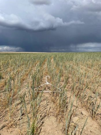 The drought-damaged wheat crop on Nicole Berg's farm in Paterson, Washington. - COURTESY OF NICOLE BERG