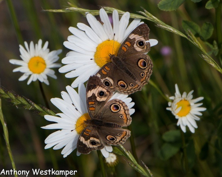 The Buckeye butterfly's eye-like wing spots may serve to intimidate predators. - ANTHONY WESTKAMPER