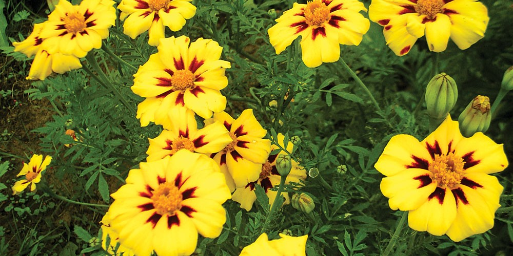 Not Your Grandma\'s Marigolds   Down and Dirty   North Coast Journal
