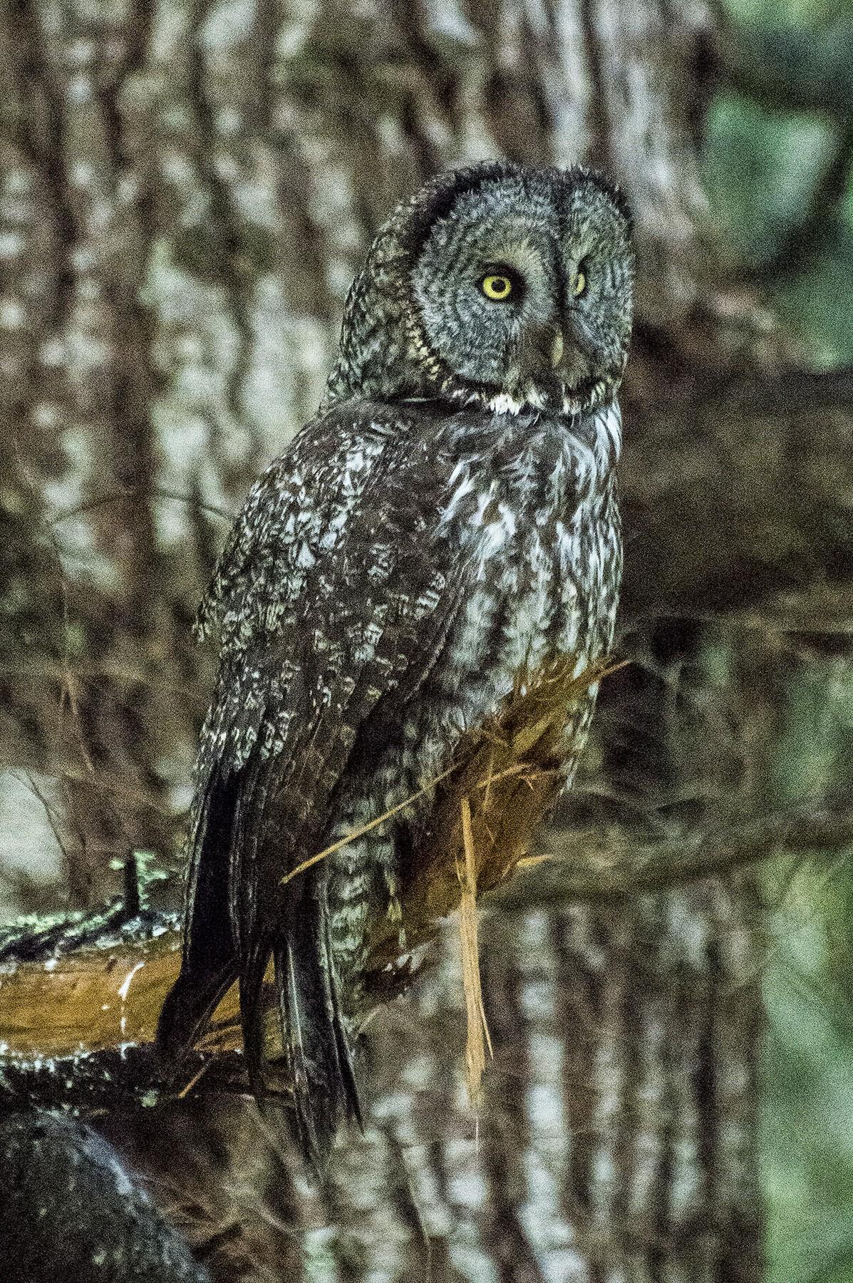 Return of the Great Gray Owl | News Blog