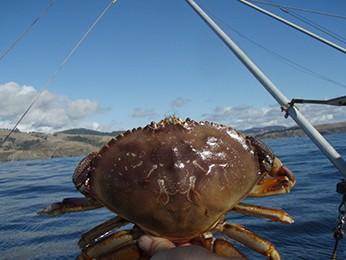 Crab is a go! - C. JUHASZ/CDFW WEBSITE
