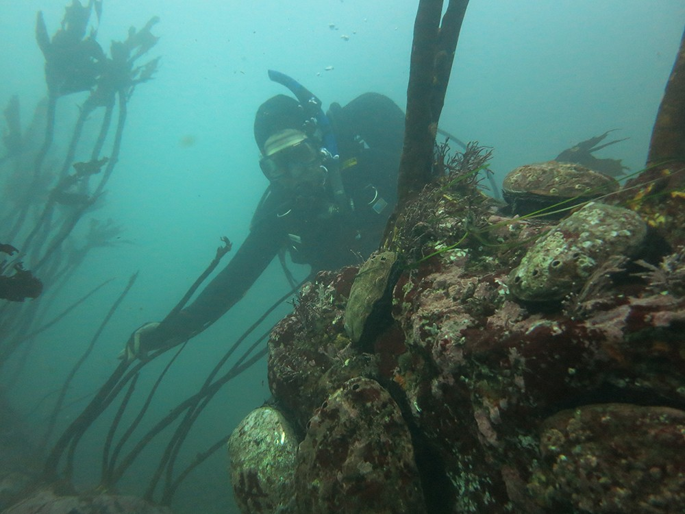 A diver looks at abalone in this photo taken before the kelp forest collapse. - KEVIN JOE/CALIFORNIA DEPARTMENT OF FISH AND WILDLIFE