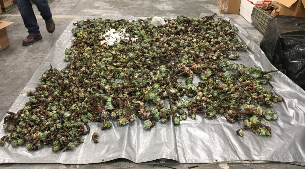 Succulent poaching is on the rise, CDFW officials say. - COURTESY OF CDFW