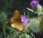 Fritillary on thistle. Likely a great spangled fritillary, there are several species with subtle differences.