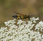 Yellow and black mud dauber nectars on Queen Anne's lace.
