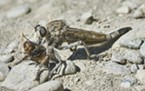Robber fly dines on another species of fly.