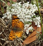 Mylitta crescent butterfly on Queen Anne's lace.
