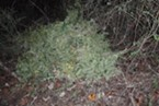 Marijuana found over an embankment of State Route 36 .