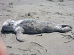 Seal pups are cute, but don't touch. They are just waiting for mom to return.
