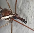 A giant crane fly up close.