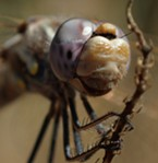 Variegated meadowhawk portrait showing how its eyes cover most of the uppper part of its head.