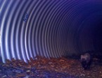 A rare Pacific fisher passes through an oversized culvert constructed specifically for wildlife west of Redding under State Route 299.