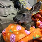 This young deer was rescued after its mother was killed by a car.