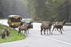 A school bus traveling north toward Orick gives students a little extra study time as elk cross U.S. Highway 101 near Big Lagoon.