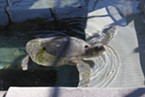 Donatello taking a rehabilitative swim at a Sausalito veterinary hospital.
