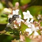 Bald faced hornet sips nectar.