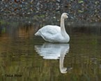 Lone Swan Graces Benbow