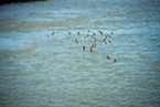 Birds skim the surface of Humboldt Bay during the historic King Tide.