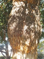 "Chaney described the bark as ""gray, red-flocked."""