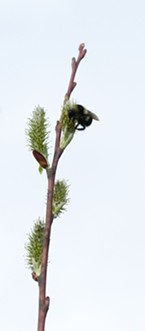 A bumblebee on a pussy willow branch.