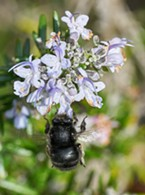 A giant carpenter bee (genus Xylocopa). Although common, this is the first time I've noted them in my yard.