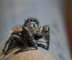 Red jumping spider portrait showing iridescent chelicerae where venom is made and stored, and large eyes giving them excellent vision.