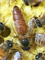 An Italian honey bee queen and her entourage of workers. HCBA Archive