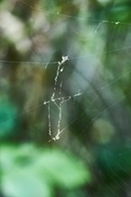 Snout moth scales in spider's web.