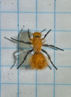 Velvet ant on 1/4-inch graph paper shows this one is 1/2 inch long.