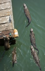 One otter (likely male) hoists himself onto Trinidad Pier as his pals swim on.