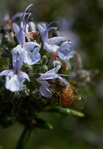 Marked honeybee delivering pollen to rosemary flower.