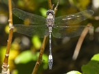 Pale faced clubskimmer.