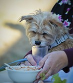 One of Kate Lehre's terriers examines a bowl of chili.