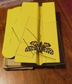 Tiger moth pinned with glass microscope slides hold wings in place.