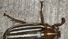 HumBug: A Day for Beetles