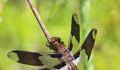 Dragonflies, Daubers and Friendly Moths