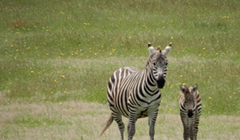 Happy News: It's a Baby Zebra (or Hebra)