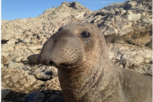 Seals, Sea Lions and Seabirds: Stories of Success from the North Coast