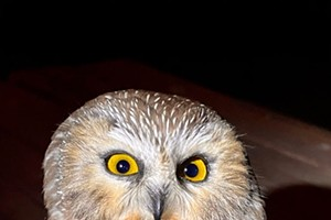 What Do You Know About Saw-whet Owls?