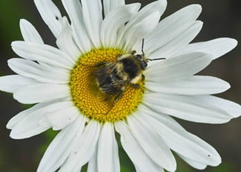 HumBug: A Patch of Daisies