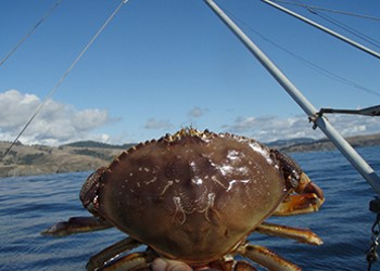 Crab Quality Delays Commercial Season Opening